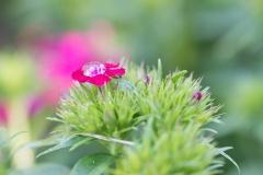 Dianthus barbatus 'Pas970056' 'JOLT Cherry Sweet William' with water drop