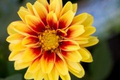 Dahlia sp. 'yellow and red dahlia'