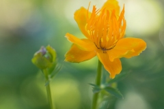 Trollius chinensis 'golden queen Chinese globe flower'