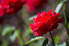 Rosa 'Jacolber' 'Opening Hight Hybrid Tea Rose'