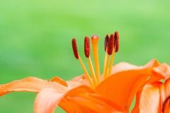Lilium asiatic 'Asiatic lily'