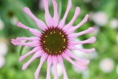 Osteospermum ecklonis 'spider pink African daisy'