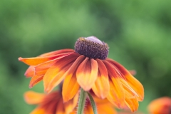 Rudbeckia hirta 'orange and maroon black-eyed Susan'