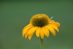 Rudbeckia sp. 'yellow coneflower'