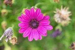 Osteospermum ecklonis 'Passion Mix' 'African Daisy'