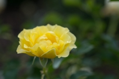 Rosa sp. 'yellow submarine'