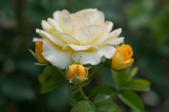 Rosa sp. 'pale yellow rose' with new buds