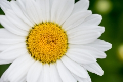 Bellis perennis 'common daisy'
