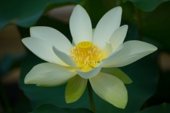 Nelumbo nucifera 'sacred lotus' in full bloom
