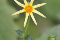 Dahlia 'Honka' 'semi-cactus dahlia'