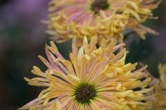 yellow pompon flowers - II