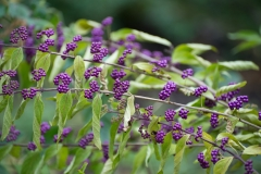 "Callicarpa japonica 'Issai' 'Japanese beautyberry ""Issai""'"